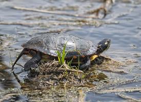 正在自娛自樂的烏龜圖片欣賞