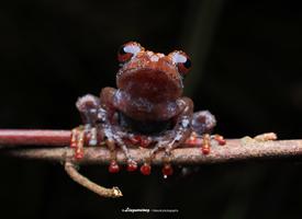 滑膩膩的小不點迷你小蛙圖片