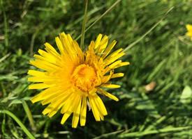 花型獨特的黃色蒲公英圖片