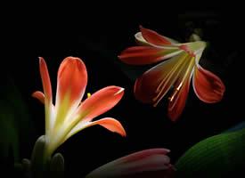 神秘而含蓄的君子蘭花高清圖片
