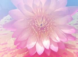 小清新唯美的淡粉色荷花圖片