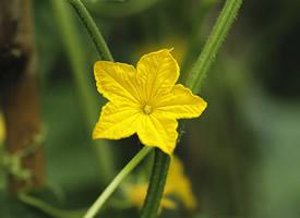 一朵五星黃色花朵圖片欣賞