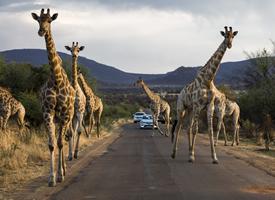 龐大的野生動物長頸鹿和野象