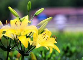 有哪些漂亮的高清百合花圖片大全
