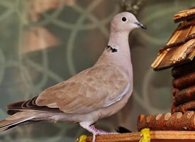 靈活可愛的灰色鴿子圖片欣賞