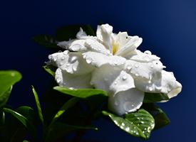 純白漂亮的梔子花高清圖片欣賞