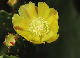 仙人掌開出的黃色花朵圖片欣賞