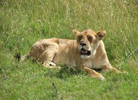 一組兇猛的母獅實拍圖片欣賞