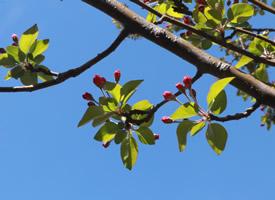 西府海棠樹花蕾圖片欣賞