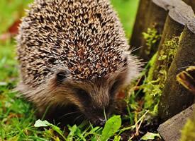 小巧迷人的動物刺猬圖片欣賞