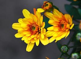 一組向陽花開的非洲菊圖片欣賞