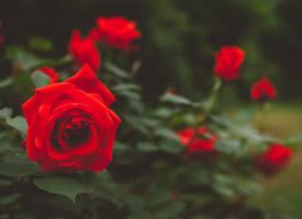 美麗的大紅色月季花壁紙圖片