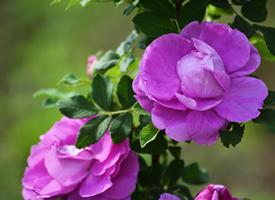 野生紅刺玫-玫瑰花圖片大全