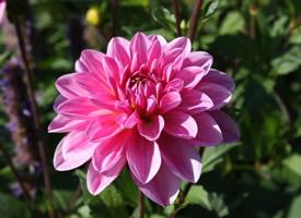 姹紫嫣紅的大麗花圖片欣賞