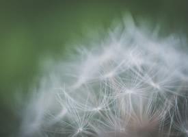 唯美的植物蒲公英護眼桌面壁紙圖片