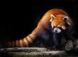 野生動物黑色背景圖片欣賞