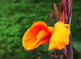 一組大葉美人蕉花的圖片欣賞