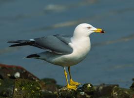 駐足在巖石上的海鷗圖片欣賞