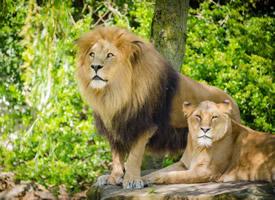 一組氣勢洶洶的雄獅圖片欣賞