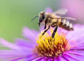一組采花蜜的小蜜蜂圖片壁紙