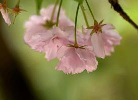 一組好看的櫻花晚櫻圖片欣賞