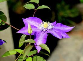 藤蔓植物的漂亮花朵圖片欣賞