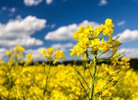 樸素自然的成片油菜花圖片欣賞