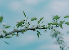 梨花開放唯美小清新圖片欣賞