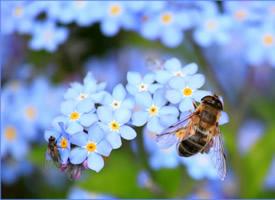 正在辛勤工作的蜜蜂圖片欣賞