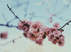 唯美浪漫的櫻花風景桌面壁紙