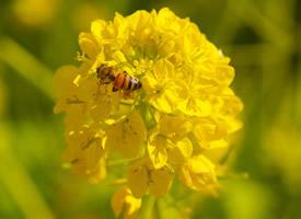 在油菜花上采蜜的蜜蜂
