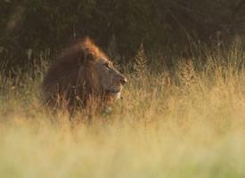 一組威猛的獅子圖片欣賞