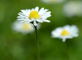 一組高清白色小雛菊圖片欣賞