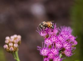 正在采蜜的蜜蜂圖片欣賞
