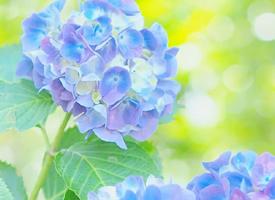 一組唯美鮮艷的繡球花圖片欣賞