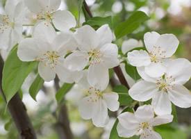一組歐洲甜櫻桃花圖片欣賞
