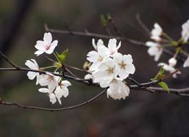 絢爛盛開的唯美櫻花桌面壁紙