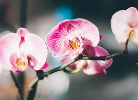 唯美蝴蝶蘭花卉圖片桌面壁紙