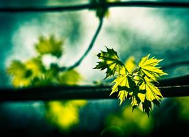 小清新綠色的楓葉圖片