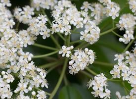 純潔樸素的石楠花圖片