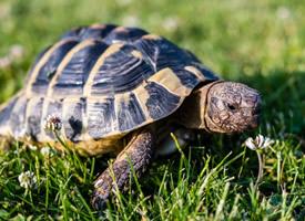 正在慢慢前進的烏龜圖片