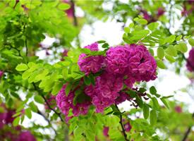 紅花洋槐開花圖片欣賞