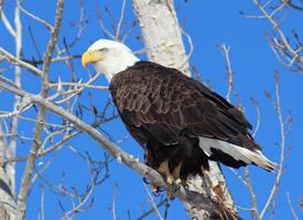 白頭鷹頭部近距離拍攝圖片