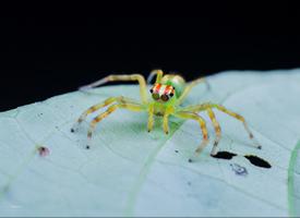 來自熱帶雨林的白斑艾普蛛圖片
