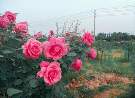 種植園里的玫瑰花已盛開圖片