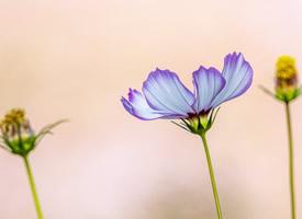 樸素優雅的格桑花圖片