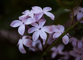唯美紫色丁香花圖片欣賞