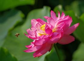 蜜蜂在荷花上飛的美景圖片