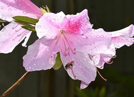 花色絢麗的杜鵑花圖片