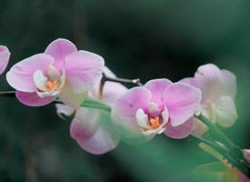 五彩的蝴蝶蘭花圖片大全